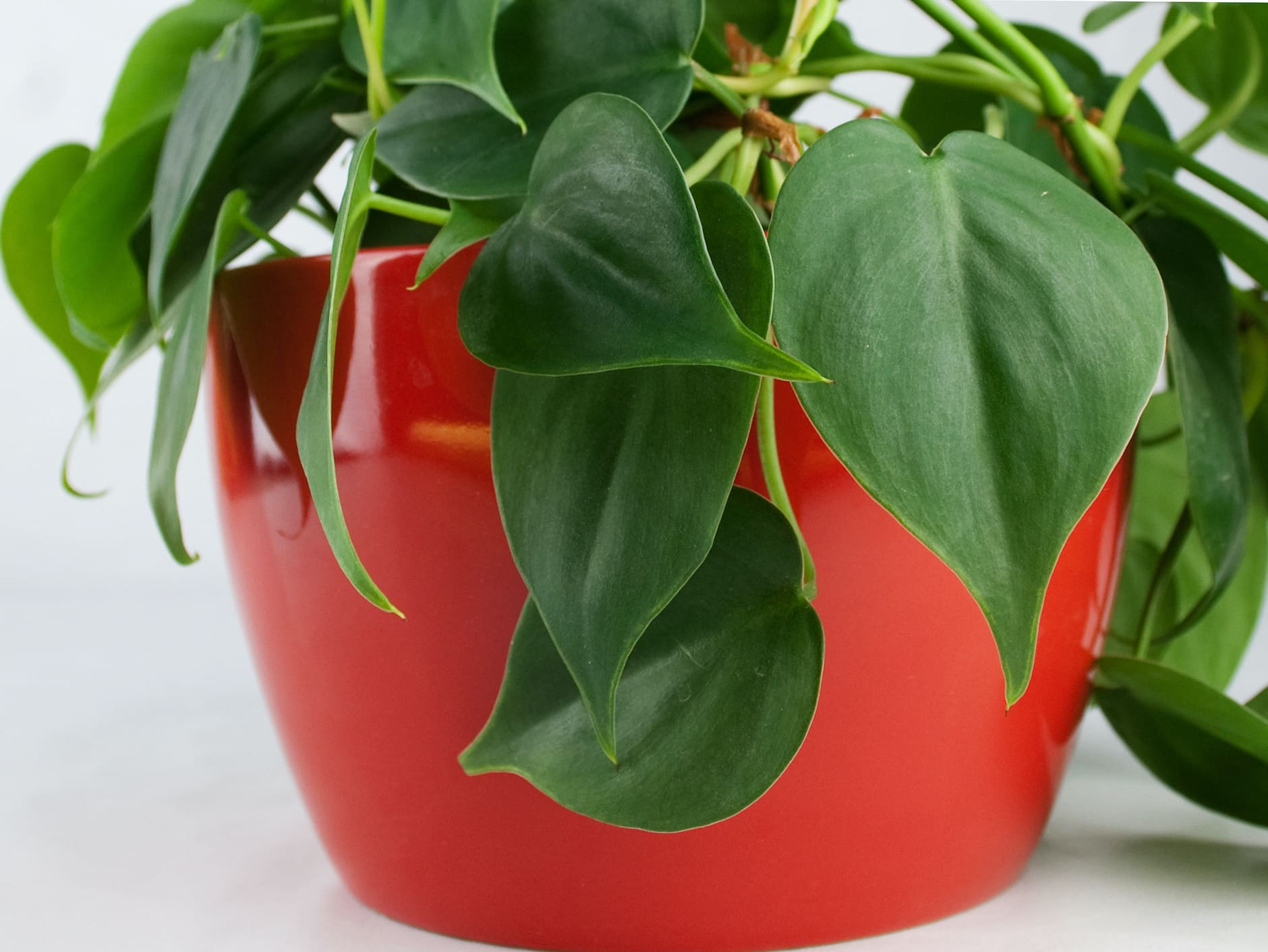Potted Philodendron houseplant