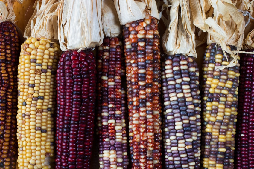 Flint corn (also known as indian corn) in a variety of colors.