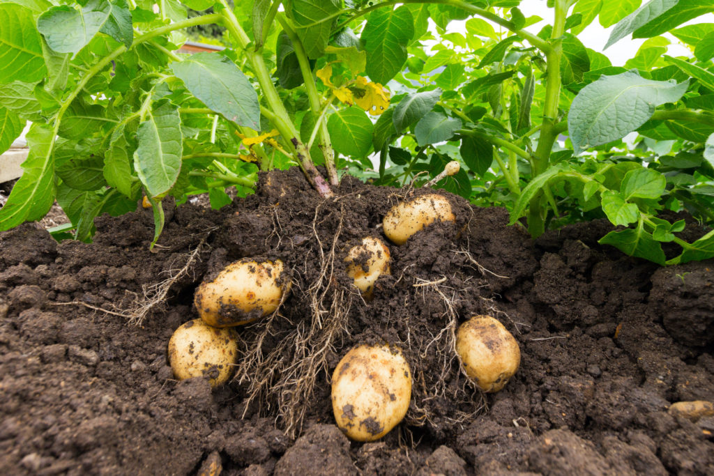 Close up of potato plant and potatoes in soil