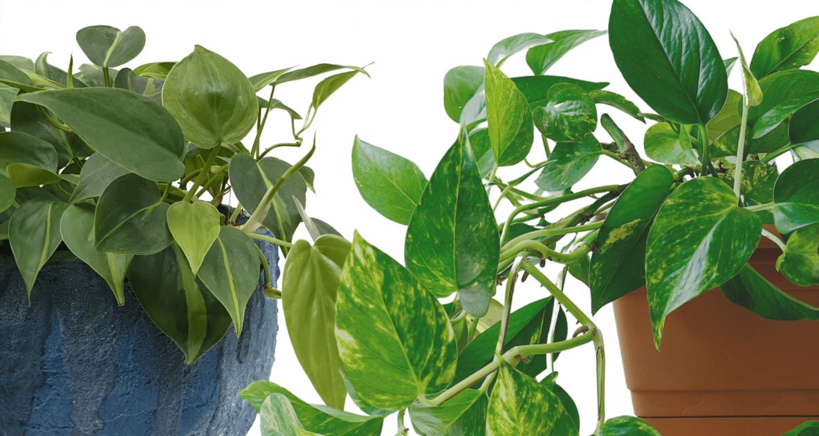 Devil's ivy - Common ivy