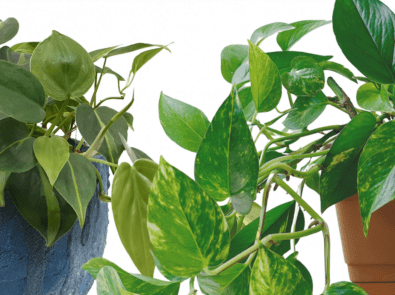 Devil's Ivy vs. Philodendron: Which is Which? featured image