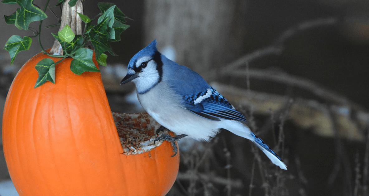 Birds - Blue jay