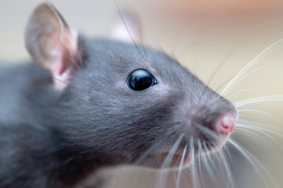 Pest of the Month: Ratsimage preview