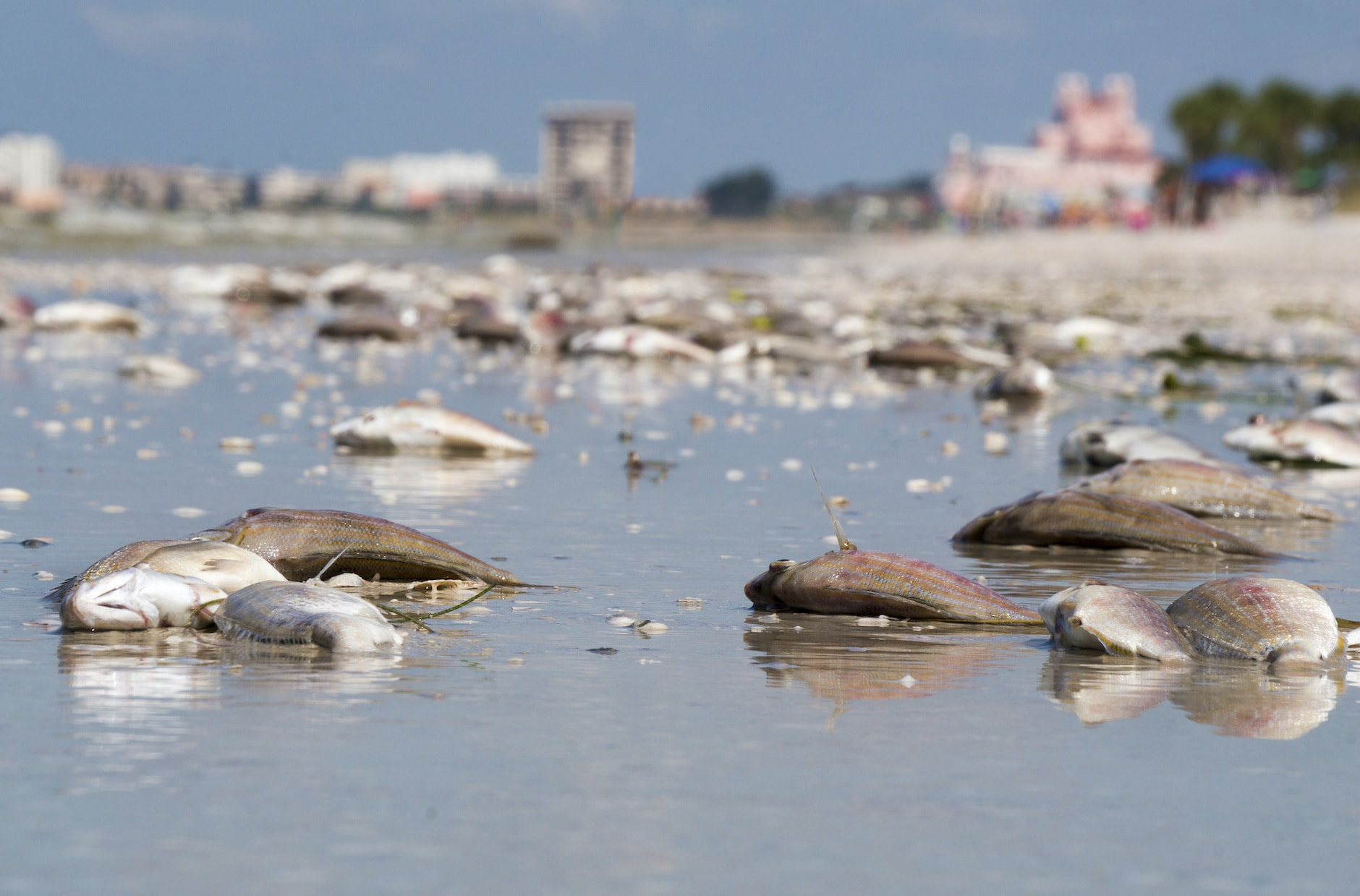 Dead fish on the shore from red tide