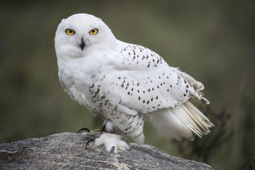 snowy owl on a rock
