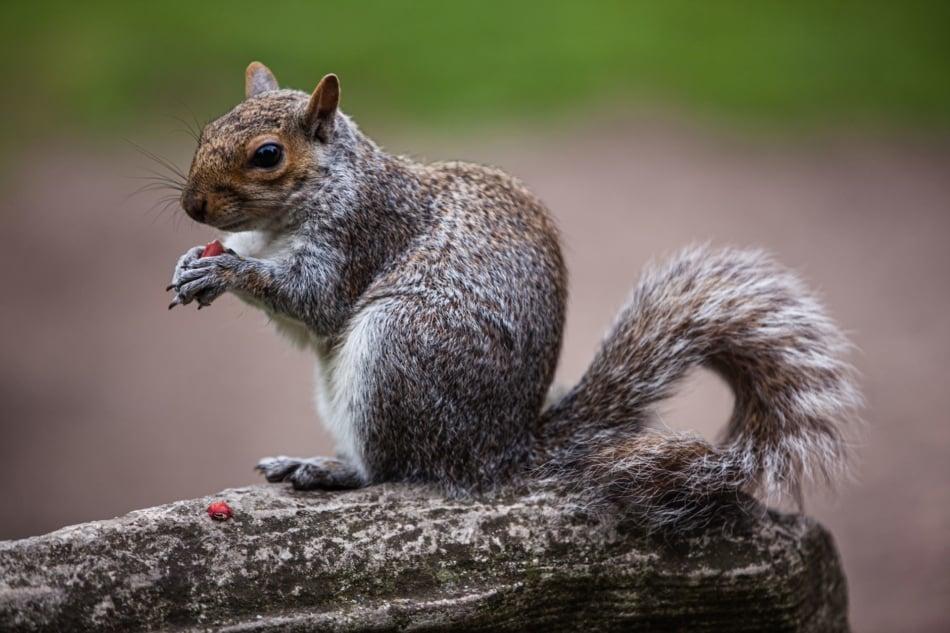 Squirrels - Chipmunks