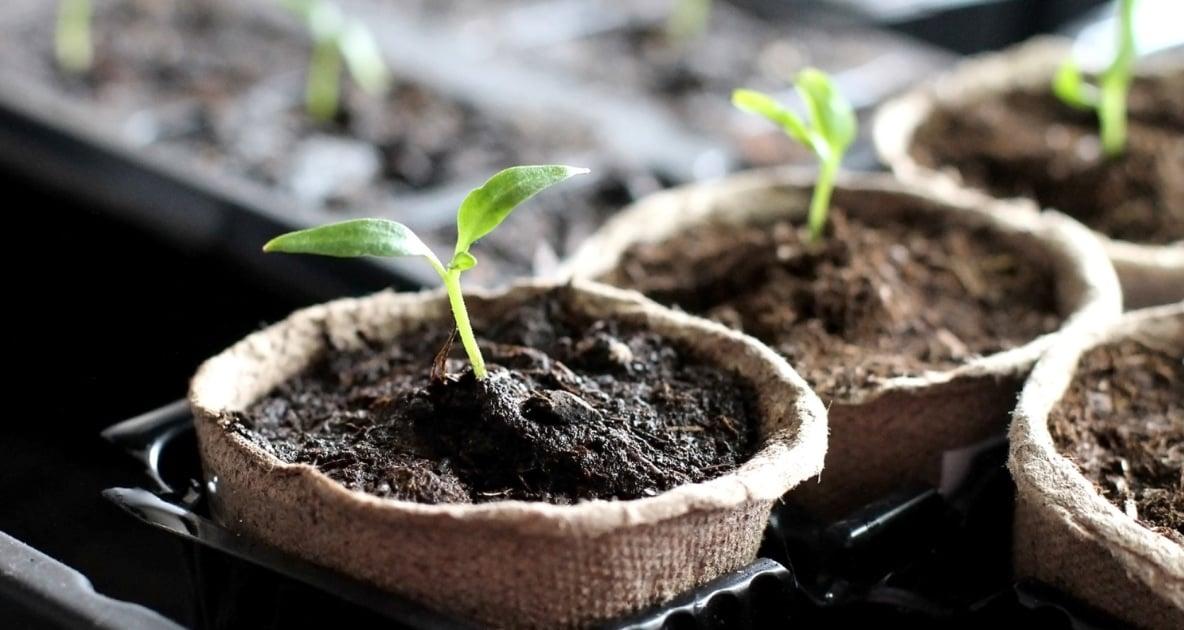 Seed - Seedling