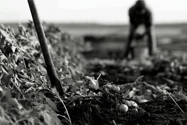 man digging potatoes in a field black and white