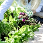 Gardening - Woman is harvesting radishes from the raised bed