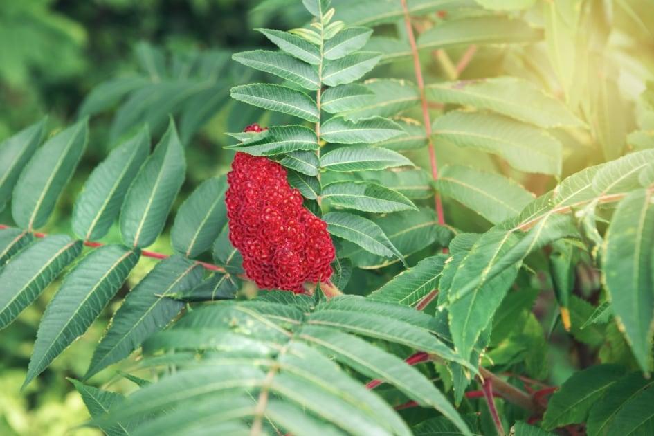 Staghorn sumac - Leaf