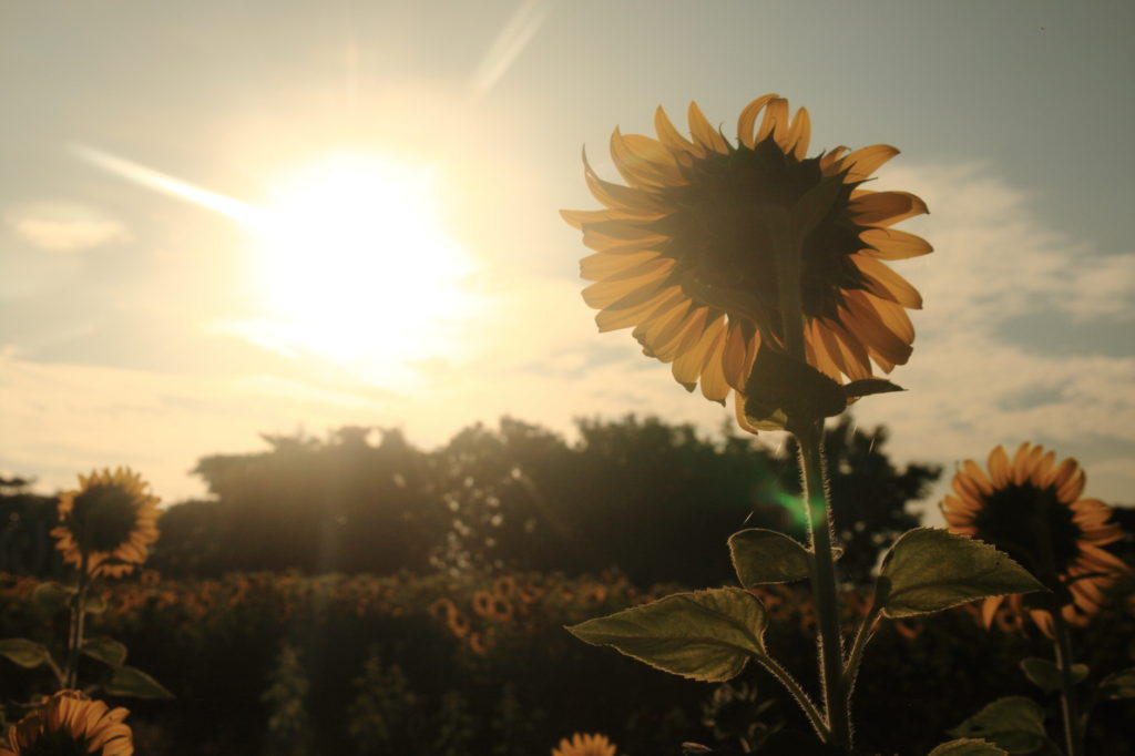 Sunflower facing sunlight vintage style