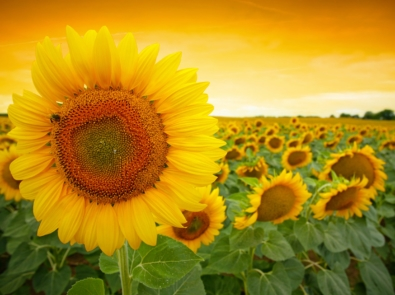 Sunflowers to the Rescue! featured image