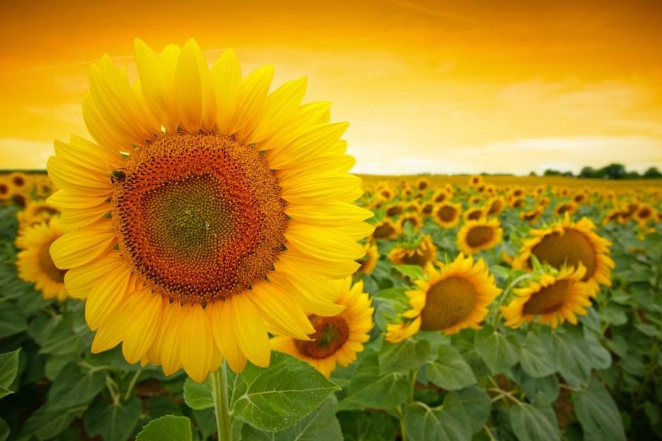 Common sunflower - Sunflower Seeds