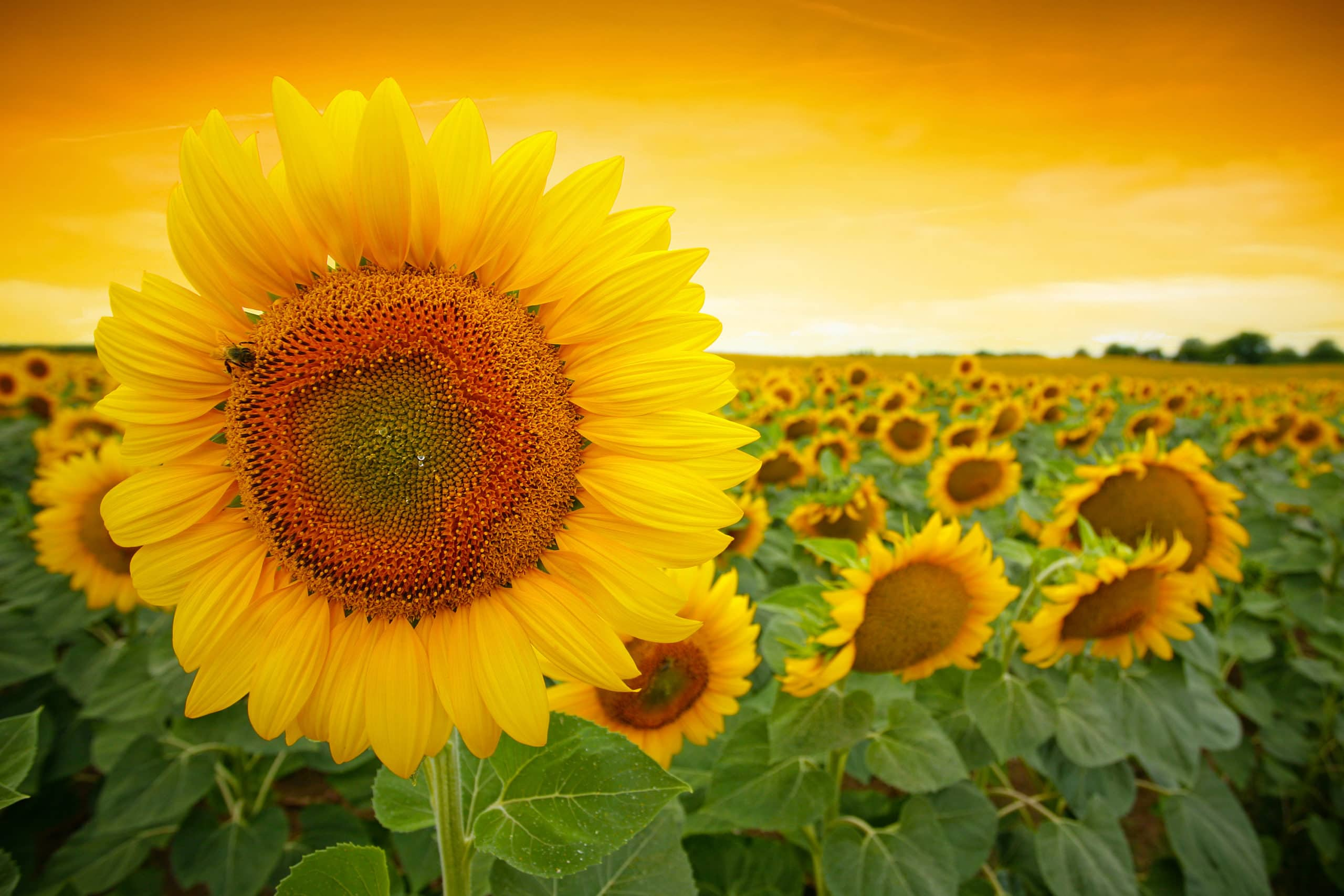 Sunflowers to the Rescue!image preview