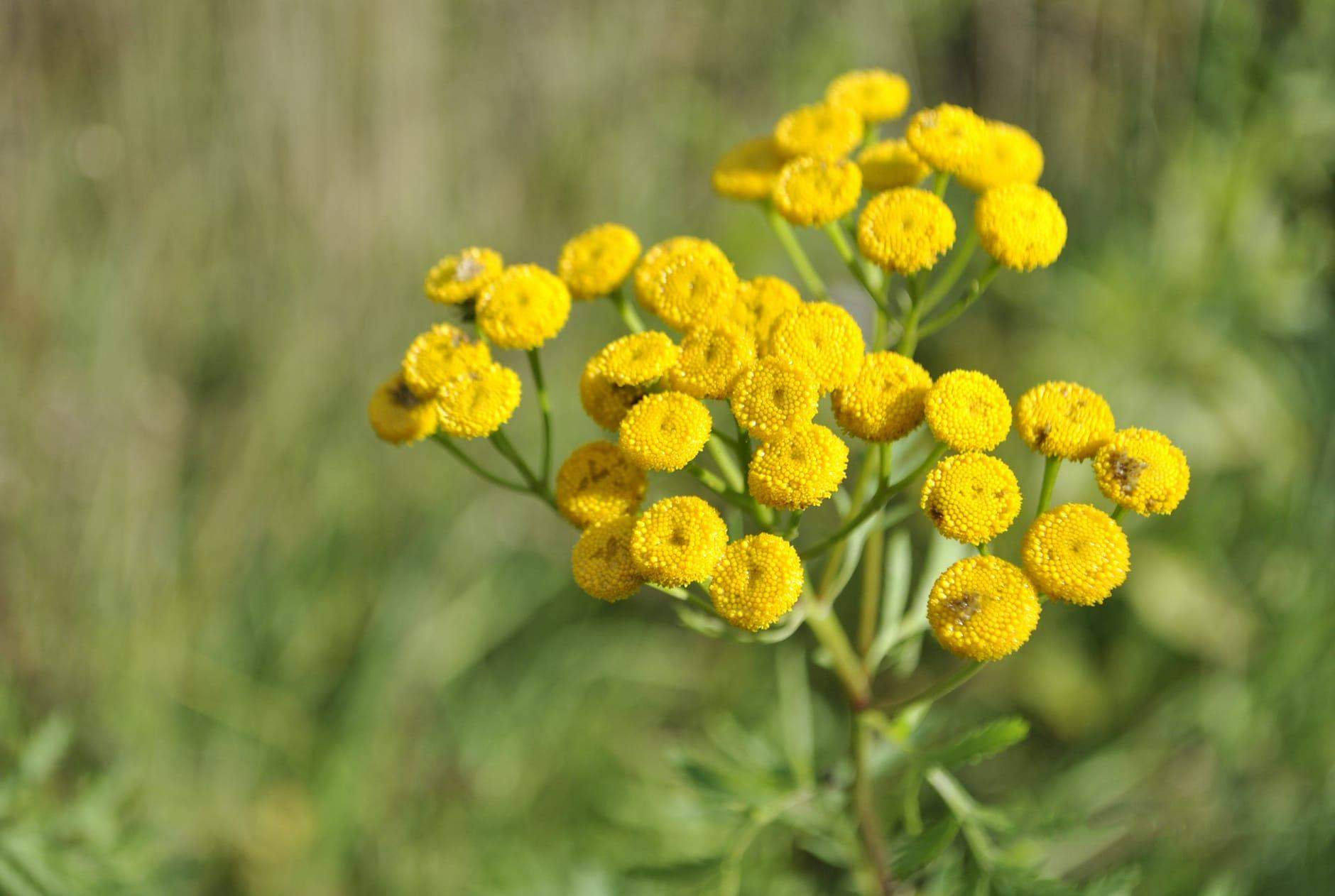 yellow flower tansy summer on a green background heat village garden