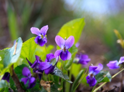 February Flower Lore: Violets featured image