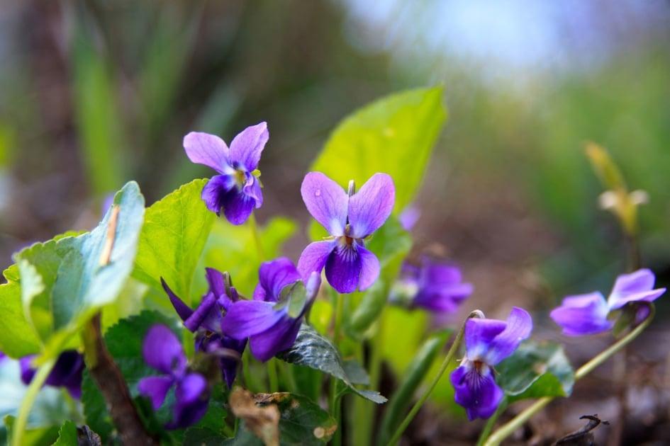 Flowering plant - Sweet violet