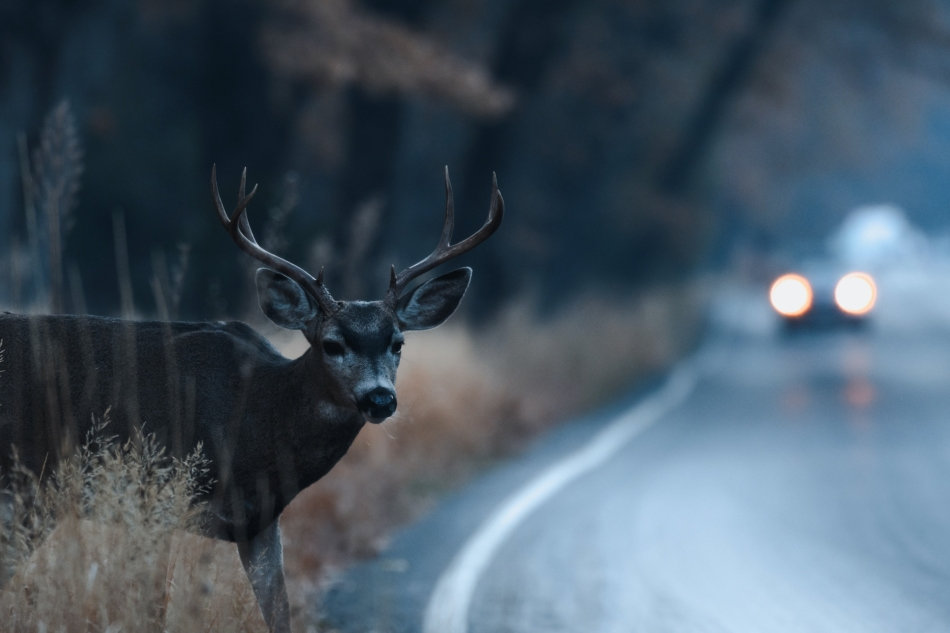 Deer - Wildlife