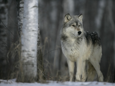 The Winter Wolf: A Weather Folklore featured image