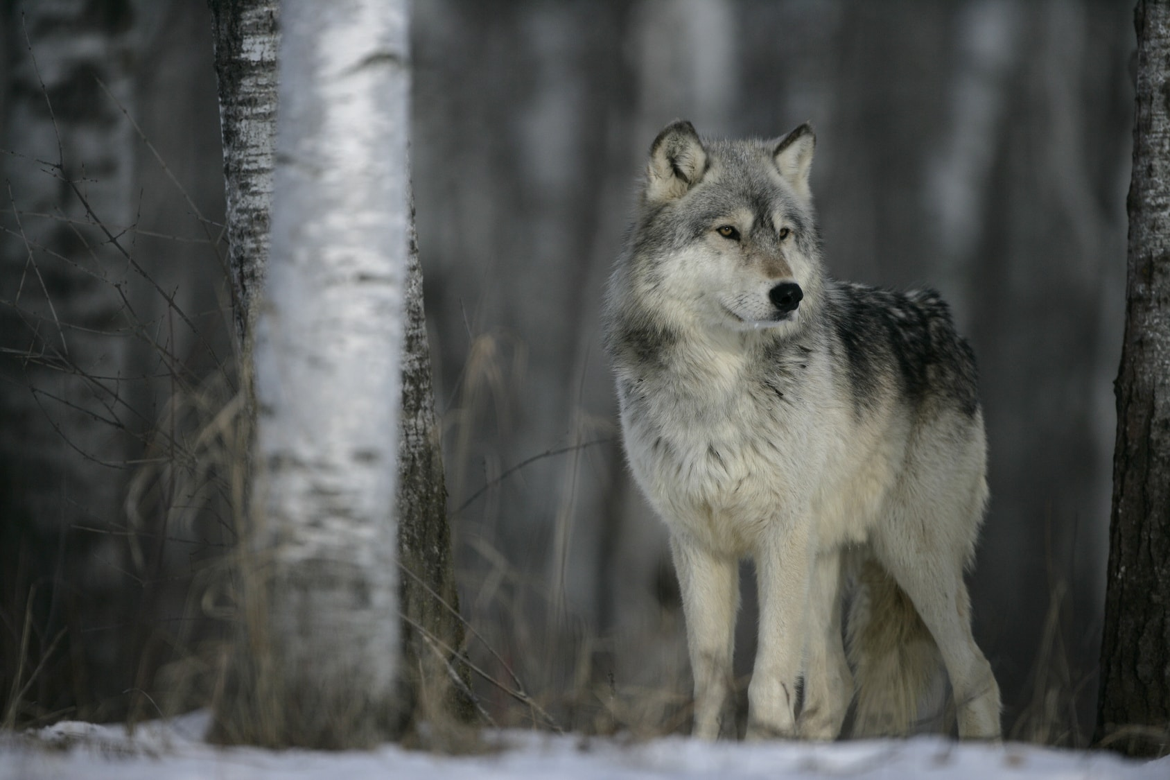 The Winter Wolf: A Weather Folkloreimage preview