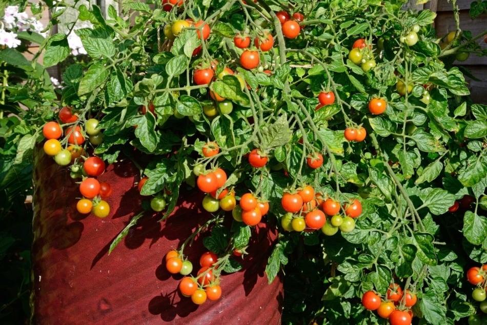 Cherry Tomatoes - Vegetable