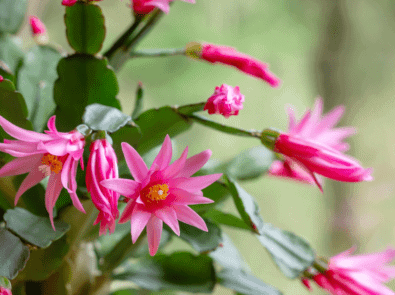 Easter Cactus: Tips For Growing And Getting Beautiful Spring Blooms featured image