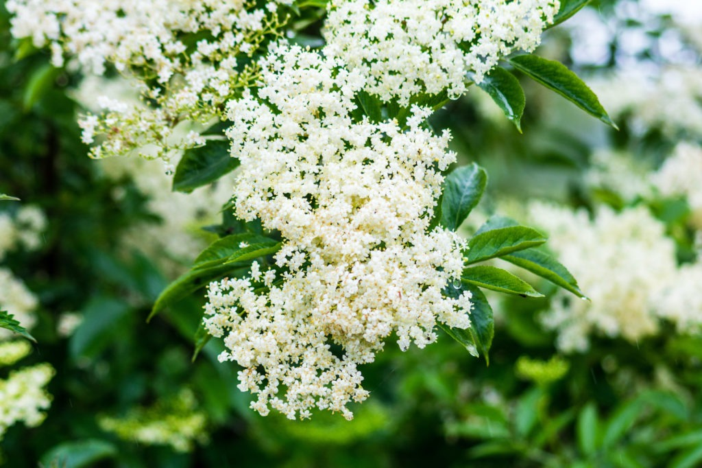 A creamy white cluster of elder flowers Sambucus nigra backed by green leaves with the odd waterdrop