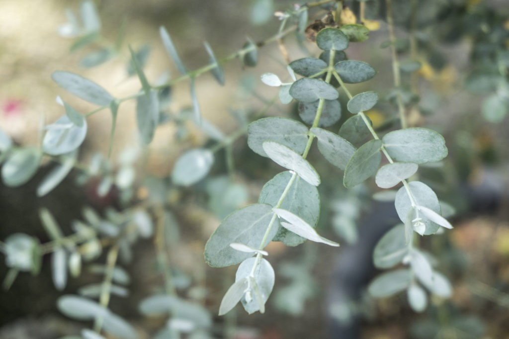 Green eucalyptus branch(herb)