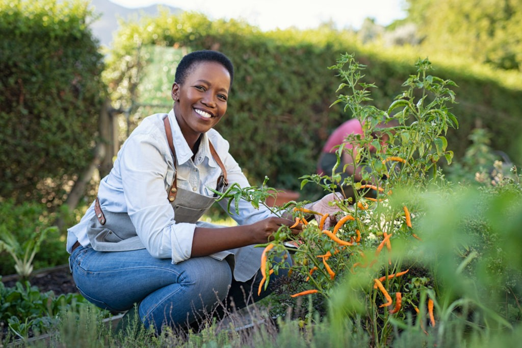Portrait of mature woman picking vegetable from backyard garden. Cheerful black woman taking care of her plants in vegetable garden