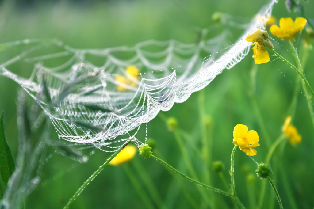 spider web and spring flowers in dew