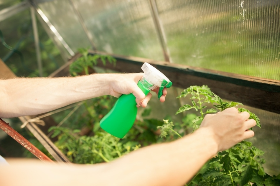 Young man hands spraying nature fertilizer / mature to a tomato plants in his greenhouse.