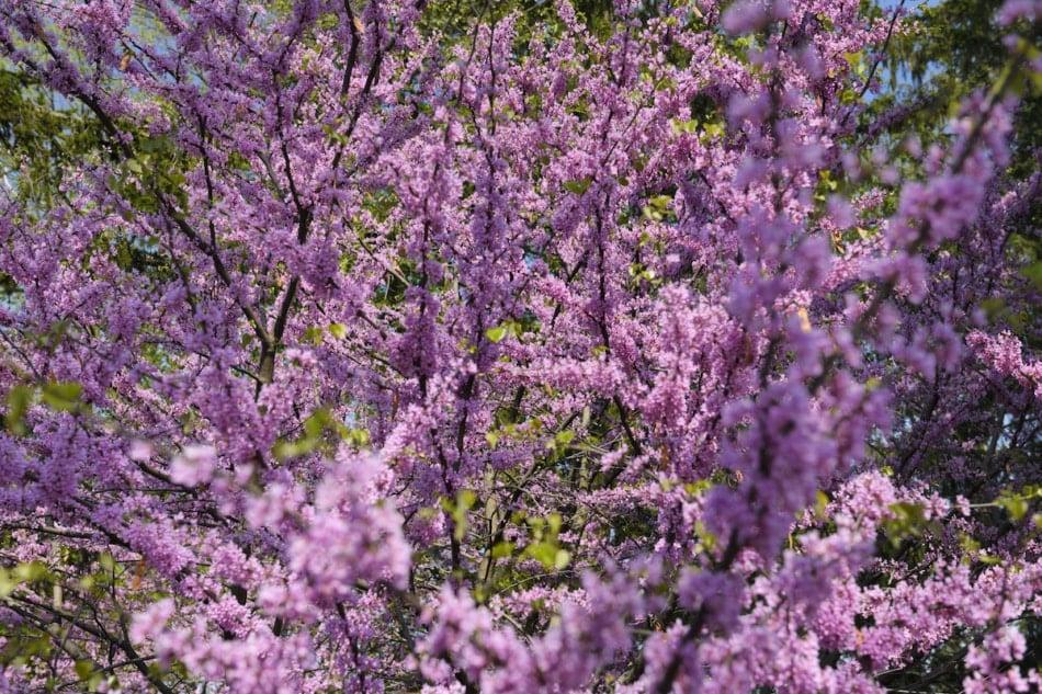 Pink Eastern Redbud tree flowers in Spring.
