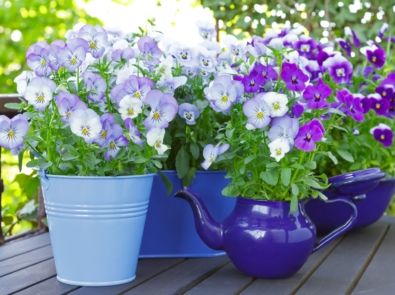 Pansies: More Than Just A Cheerful, Spring Beauty featured image