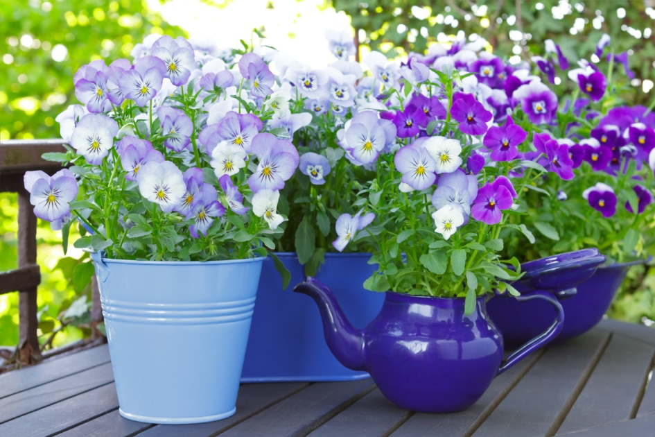 Purple, blue and violet pansy flowers in 3 pots.