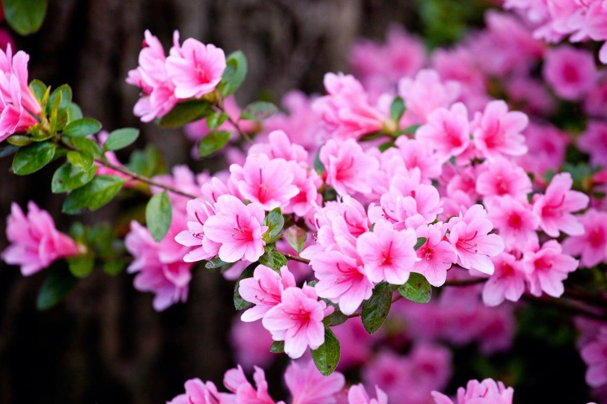 Bright pink  rhododendron flowers (azalea flowers) blooming
