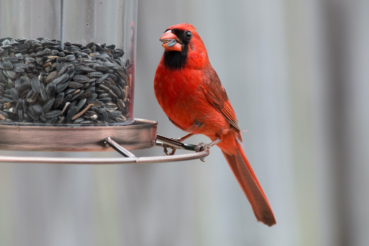 A Cardinal red bird eating seed at a bird feeder.