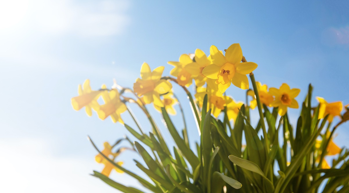 Springtime, easter time. Spring flowers, yellow daffodils on blue sky background