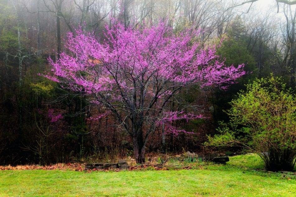 Eastern redbud in full bloom in spring flowering trees