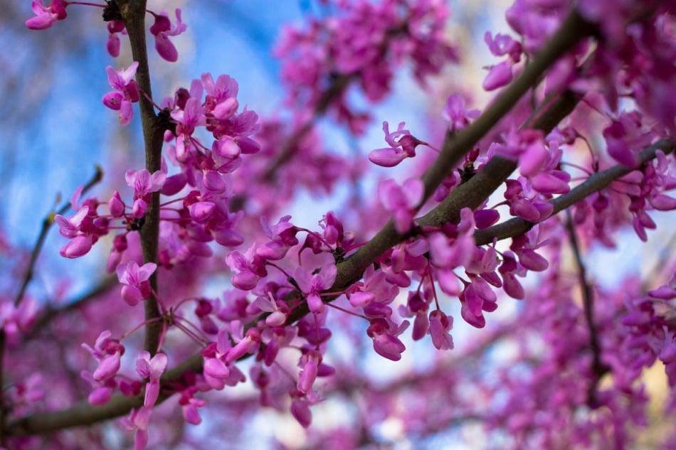 Closeup of Eastern Redbud blooms flowering tree.