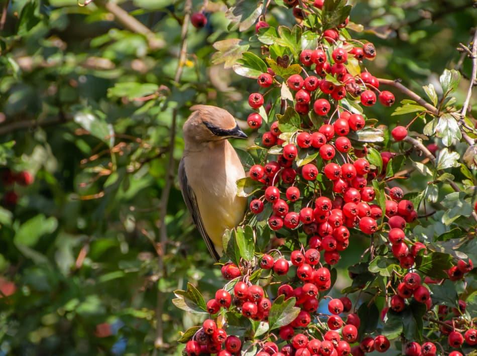 Bird eating red Hawthorn tree berries.