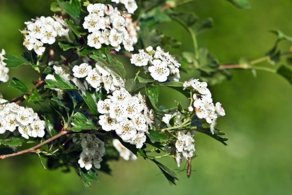 Hawthorn flowering tree blooms.
