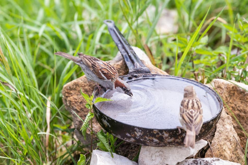 Closeup of two common house sparrow birds perched on pan pot with green leaves grass blades in summer drinking water