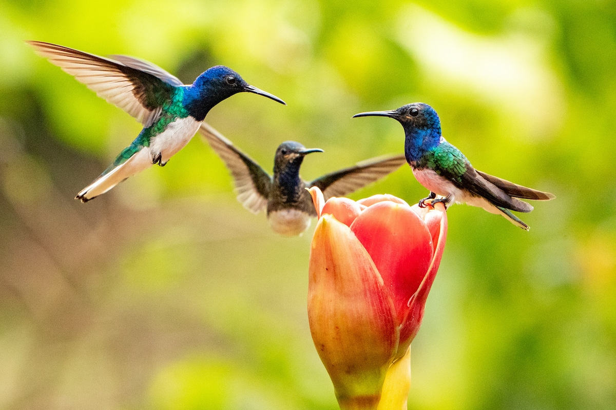 Three hummingbirds hovering over a flower