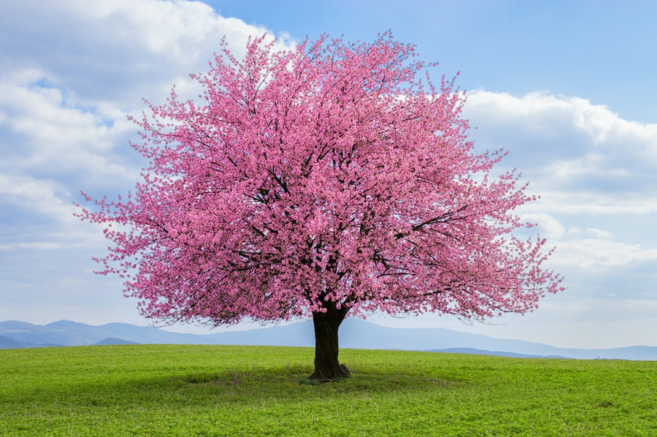 Japanese cherry tree in bloom.
