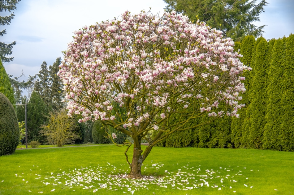 Magnolia tree in a yard dropping petals.