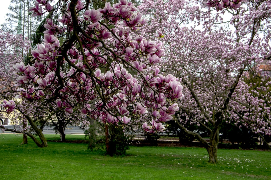 Magnolia tree with pink blooms in full bloom in spring.