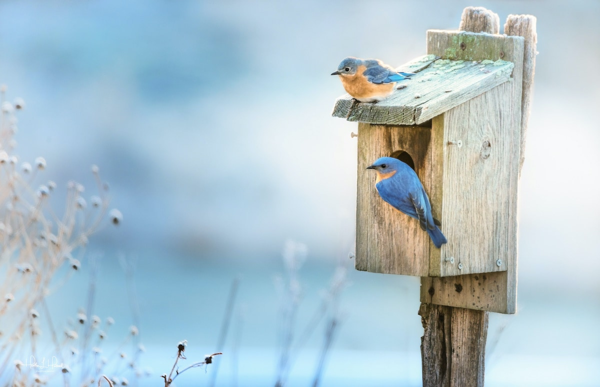 Two Eastern bluebirds sit on a nesting box