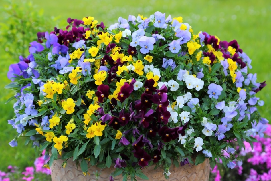A group of colorful pansies in the garden.