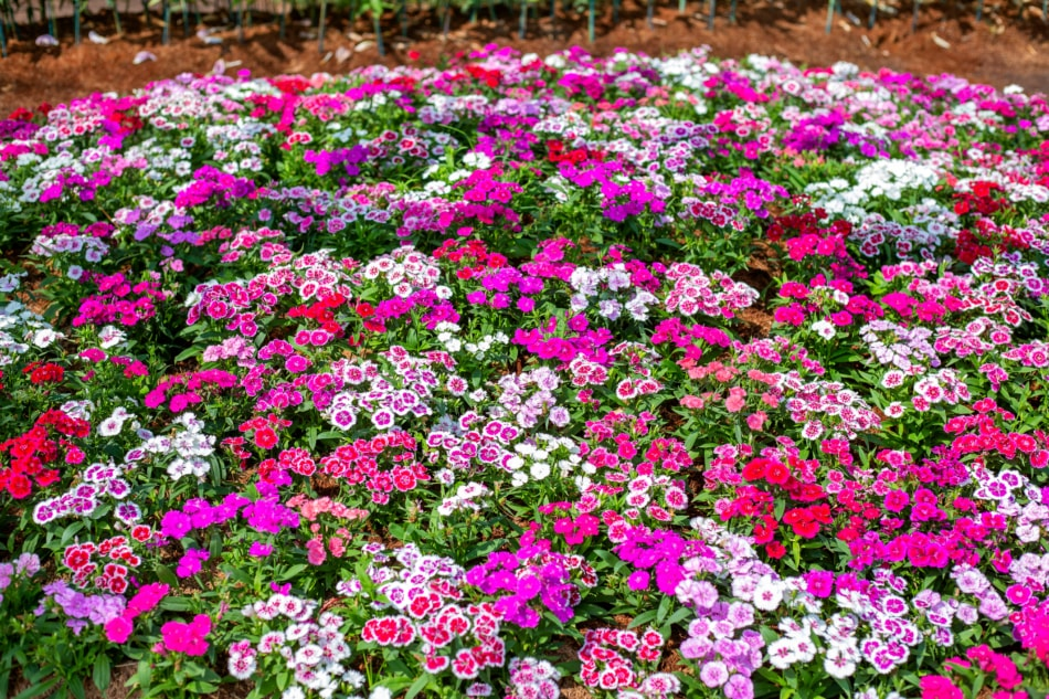 A variety of pink dianthus flowers growing in a garden.