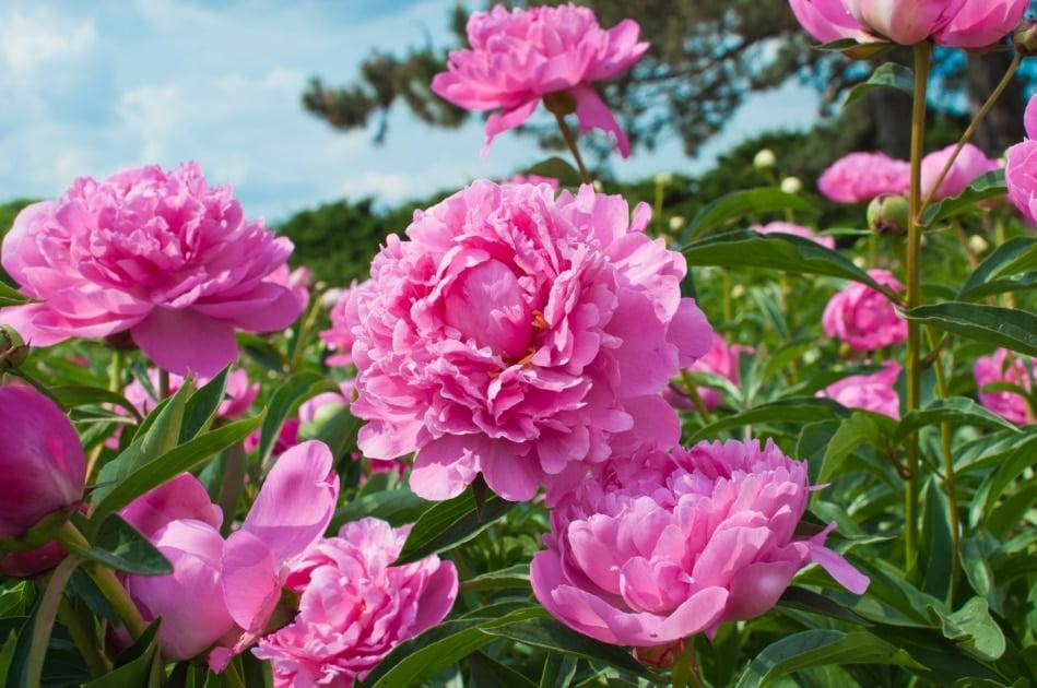 Pink peony flowers in the garden.